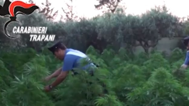 Scoperta a Marsala piantagione di marijuana