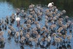 Monitoraggio dei fenicotteri: controlli su più di 100 esemplari alle Saline di Priolo