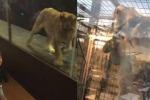 Chiusa in vetrina in un bar: la leonessa torturata per divertire i clienti