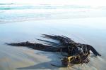 L'alga marina Durvillaea (fonte: Ceridwen Fraser, ANU)