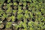 Droga a Enna, sequestrata piantagione di cannabis: avrebbe fruttato 350 mila euro