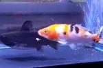 In un sol boccone: il pesce gatto si pappa un altro pesce in pochi secondi