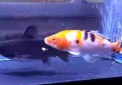 Questo acquario non è abbastanza grande per entrambi