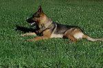 Trovato morto avvelenato Kaos, il cane eroe di Amatrice