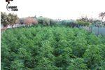 Nascondeva 860 piante di marijuana in giardino, un arresto a Marsala