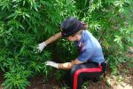 Scoperta una piantagione di marijuana a Carini, trovate 300 piante: un arresto