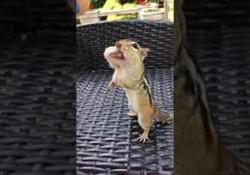 La divertente clip di uno scoiattolo che si riempie la bocca di arachidi