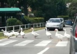 Un gruppo di oche ordinate e diligenti che bloccano il traffico per passare