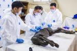 Le prime analisi  in Russia, al Mammoth Museum dell'Università federale nord-orientale di Yakutsk  (Fonte, EPA/MICHIL YAKOVLEV/NORTH-EASTERN FEDERAL UNIVERSITY)