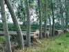 Anche Conad pianta alberi, pioppicoltura in pianura Padana