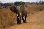 Un esemplare di elefante africano della Tanzania (fonte: Eleanor Yarisse)