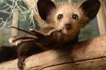 Il lemure aye-aye del Madagascar (David Haring)