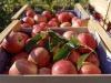 Al via la vendemmia delle mele, ma in flessione del 6%