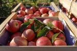 Al via la ''vendemmia'' delle mele, ma in flessione del 6%