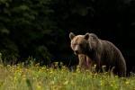 Il Dna dell'orso preistorico vive ancora nel genoma dell'orso bruno (fonte:  Lajos Berde  berdelala@yahoo.com)