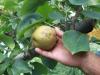 Cimici insaziabili stanno colpendo soia, mais, pere, mele, pesche e kiwi con danni fino al 40% dei raccolti