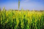 L'aumento delle temperature globali sta rendendo i parassiti più voraci e numerosi, tanto che si stima un aumento delle perdite globali di raccolto fino al 25% per ogni grado in più di riscaldamento globale della superficie (fonte: pixabay)