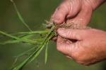 In ripresa i prezzi del riso. Cresce del 14,3% l'export