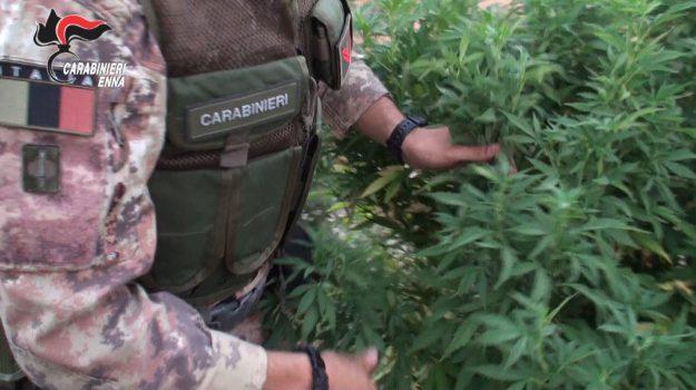 cannabis arrestati centuripe, Sicilia, Cronaca