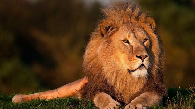 giornata mondiale del leone, Sicilia, Società