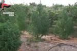 In un frutteto 180 piante di cannabis: ecco la piantagione di droga scoperta a Centuripe