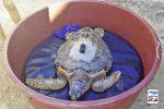Battezzata col nome di Rita, Caretta caretta liberata nelle acque di Favignana