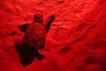 Alla riserva di Priolo osservata la prima nidificazione di tartarughe Caretta caretta