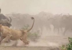 Il video è stato girato nel Kruger National Park in Sudafrica e mostra una leonessa che si avvicina minacciosamente ad una mandria di bufali