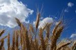 Mappato il Dna del grano usato per fare il pane (fonte: Isabelle Caugant)