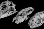 Una Tac dei crani, da sinistra a destra, di un cucciolo di Tuatara, (un tipo di rettile moderno), un cucciolo di Kayentatherium, e un Opossum di 27 giorni (mammifero moderno). (fonte: Eva Hoffman)