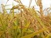 Lombardia, raccolta riso al via con -10% superfici coltivate