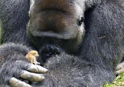 Il maschio adulto di 200 kg e l'amica scimmietta di 200 grammi