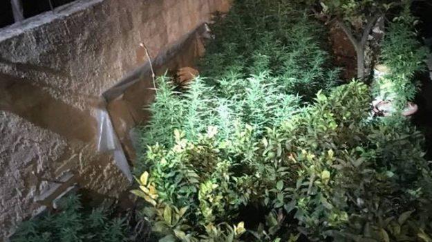 piantagione cannabis mazara del vallo, antonio tripoli, Francesco Licata, Trapani, Cronaca