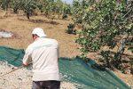 Agrigento, navette gratuite per raggiungere il Festival del Pistacchio di Raffadali