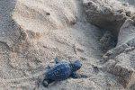 La spiaggia di Erice saluta la nascita di dieci tartarughe Caretta caretta