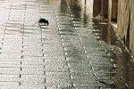 Topi e blatte per le strade di Barcellona, via alla disinfestazione