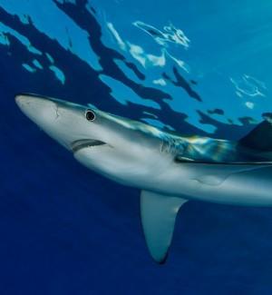 Una verdesca, il genere di squalo avvistato a Sciacca