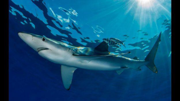 squali sciacca, verdesca, Agrigento, Cronaca