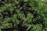 Coltivavano una piantagione di marijuana a Motta Camastra, due arresti