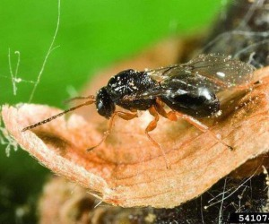 Castagneti italiani vittime di vespa cinese, -20% produzione