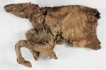 Il caribù trovato in una miniera d'oro del Klondike è quasi integro: rispetto al lupo ha solo due zampe, ma entrambi conservano ancora pelo, pelle e muscoli (fonte: Government of Yukon? @yukongov)