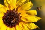 Ecco robot impollinatore, supplisce a declino api