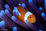 Rappresentazione artistica del pesce pagliaccio (Amphiprion percula), una delle specie più importanti per studiare l'evoluzione dei pesci della barriera corallina (fonte:Tane Sinclair-Taylor)