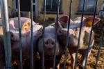 Peste suina, Belgio verso abbattimento capi in area infetta