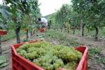 Vino: Coldiretti, in Piemonte ottima annata e +15% quantità
