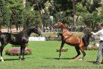 Trapani Arabian Horses Cup, lo show dei cavalli arabi approda a Buseto Palizzolo