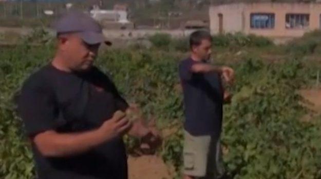 Rubati sei quintali di zibibbo: danni ingenti per una cantina di Pantelleria