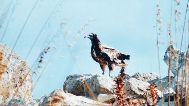 avvoltoio ucciso a petrosino, capovaccaio bianca, Trapani, Cronaca