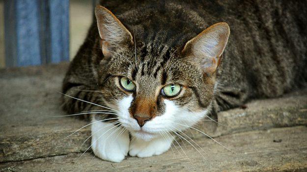 gatto vita cuore salute, Sicilia, Società