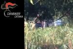 Tra gli alberi di agrumi piante di canapa indiana a Palagonia, arrestato settantenne